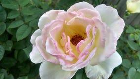 Tè Rosa ibrido del ricevimento all'aperto Fotografie Stock Libere da Diritti
