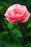 Tè Rosa 'regina Elizabeth' in fioritura immagine stock libera da diritti