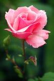 Tè Rosa 'regina Elizabeth' in fioritura immagini stock