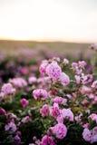 Tè Rose Field fotografia stock libera da diritti