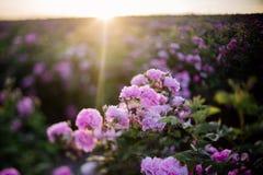 Tè Rose Field immagini stock