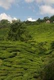 Tè sul pendio di collina Fotografie Stock