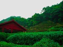 Tè verde in Cina fotografie stock libere da diritti