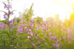 Té de Ivan de la hierba del sauce en la luz caliente del verano Fotografía de archivo