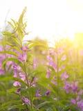Té de Ivan de la hierba del sauce en la luz caliente del verano Fotos de archivo libres de regalías