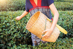 Té de la cosecha de la mujer de Asia foto de archivo libre de regalías