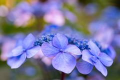 Té de la flor de la púrpura del asilo foto de archivo libre de regalías