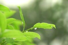 Té después de la lluvia Imagen de archivo libre de regalías