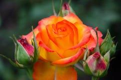 Té Rose Fotografía de archivo