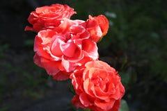 Té Rose Fotografía de archivo libre de regalías