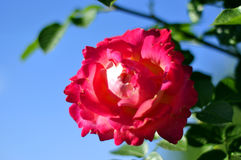 Té Rose rosado en un fondo del cielo azul Fotografía de archivo