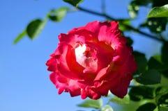 Té Rose rosado en un fondo del cielo azul Fotografía de archivo libre de regalías