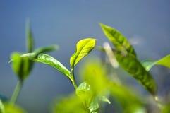Té verde Foto de archivo