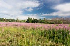 Té verde del prado y de la sauce-hierba Imagenes de archivo