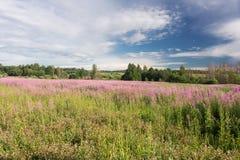 Té verde del prado y de la sauce-hierba Imagen de archivo libre de regalías