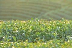 Té verde y hojas frescas Fotografía de archivo