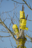 Técnica do enxerto da árvore Fotografia de Stock Royalty Free