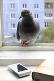 Téléphone intéressé de pigeon Image libre de droits