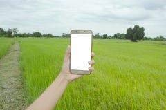 Téléphone intelligent à disposition avec le gisement de riz Photographie stock