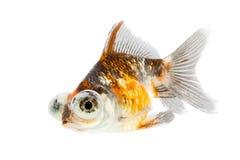 Télescope-yeux poisson rouge, poisson rouge de calicot d'isolement sur le fond blanc Images stock