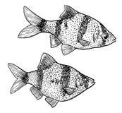 Tétra illustration au néon, dessin, gravure, encre, schéma, illustration de vectorGoldfish, dessin, gravure, encre, schéma, vecte illustration de vecteur