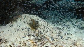 Tétra penguinfish de blackline de boehlkei de Thayeria d'essaim de pingouin sous-marins photo stock
