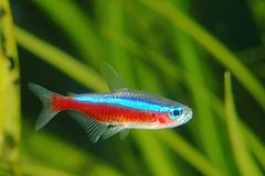 Tétra poissons cardinaux Image stock
