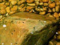 Têtards de natation Image libre de droits