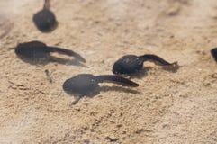 Têtards de natation dans une piscine Image stock