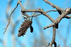 Tête australienne de graine de banksia Photos stock
