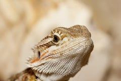 Tête barbue de dragon Photos stock