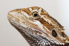 Tête barbue de dragon Image stock