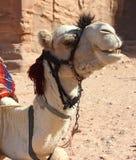 Tête blanche de chameau Image stock