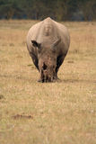 Tête blanche de rhinocéros en fonction Image stock