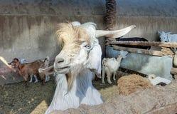 Tête blanche du ` s de chèvre Photos libres de droits