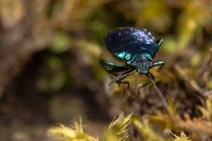 Tête bleue de shieldbug (caerulea de Zicrona) dessus image libre de droits