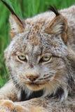 Tête canadienne de lynx Photographie stock libre de droits