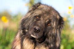 Tête caucasienne de berger Photographie stock libre de droits