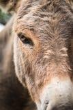 Tête d'âne - plan rapproché Image libre de droits