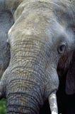 Tête d'éléphant image libre de droits