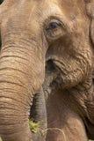 Tête d'éléphant Image stock
