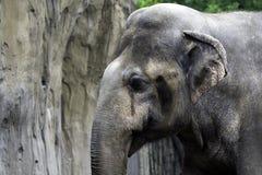 tête d'éléphant africain Photo libre de droits