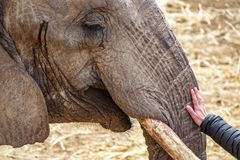 Tête d'éléphant avec la main de défense et de femme Photo stock