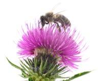 T?te d'abeille et de fleur d'isolement photos libres de droits