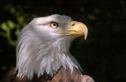 Tête d'aigle chauve Image stock