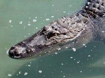 Tête d'alligator Photo stock