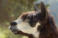 Tête d'alpaga (pacos de lama) Image libre de droits