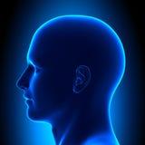 Tête d'anatomie - vue de côté - concept bleu Images stock