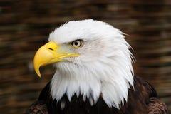 tête d'or d'aigle Photos stock