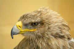 tête d'or d'aigle photographie stock libre de droits